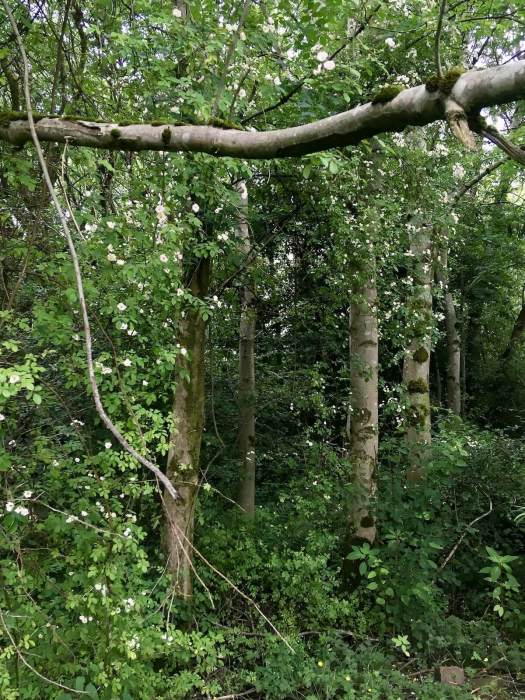 Natural rose walk: wild rambling roses in woodland