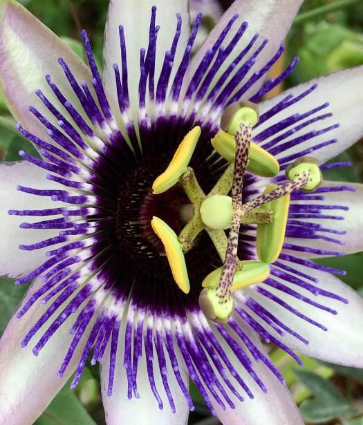 Passiflora with purple rays