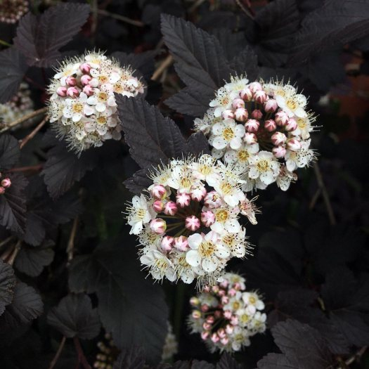 Physocarpus opulifolius (ninebark) with chocolate foliage