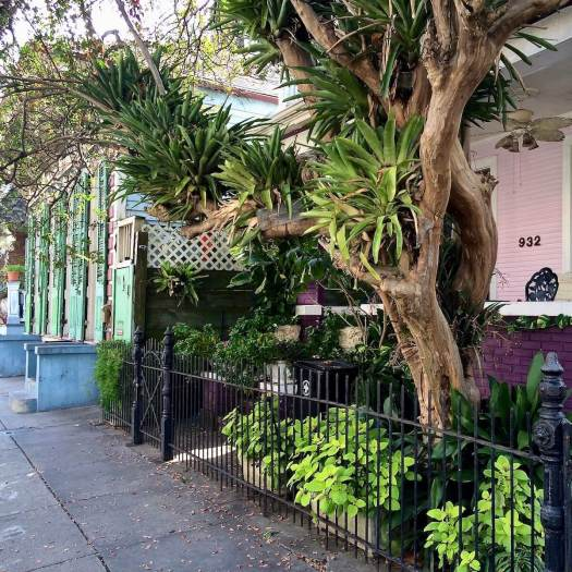 Bromeliads growing in a tree, Dumaine Street, French Quarter, New Orleans