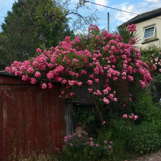 Rose rambling over a shed
