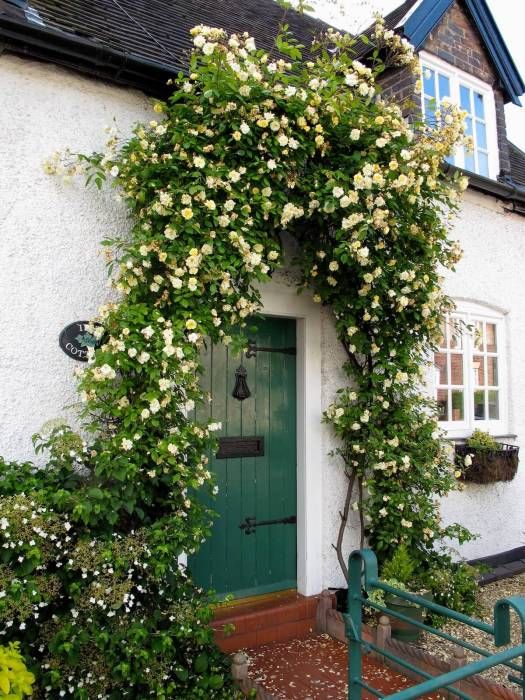 Rosa 'Malvern Hills' trained in an arch shape around a door