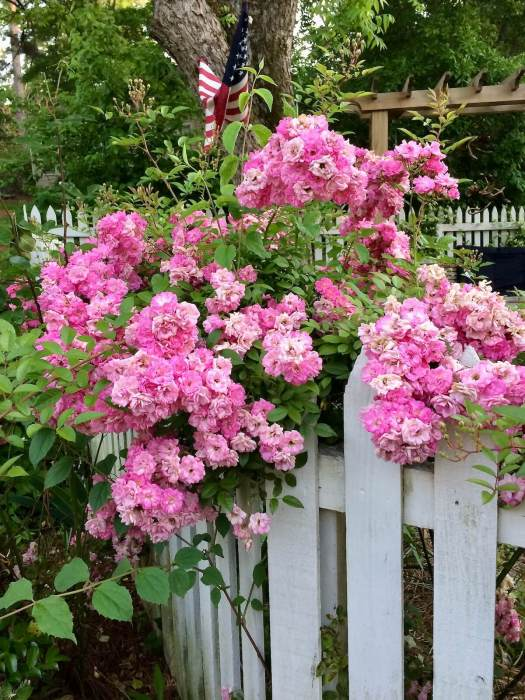 Pink rambling roses tumbling over a white picket fence
