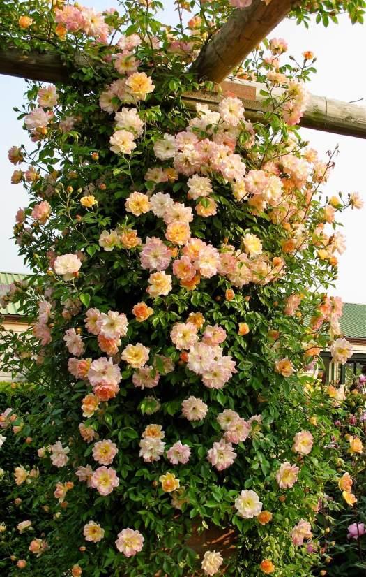 Pillar roses: Rosa 'Phyllis Bide'