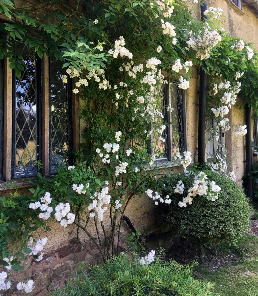 Rambling roses at Cothay Manor