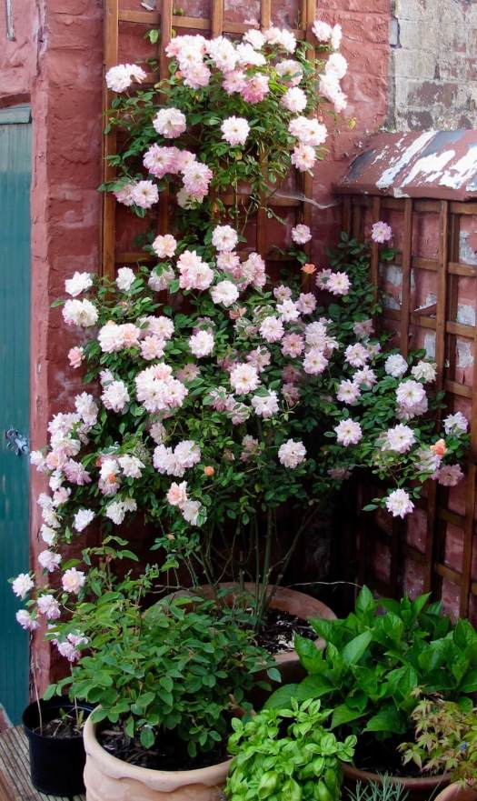 Short rambling rose grown against a wooden trellis