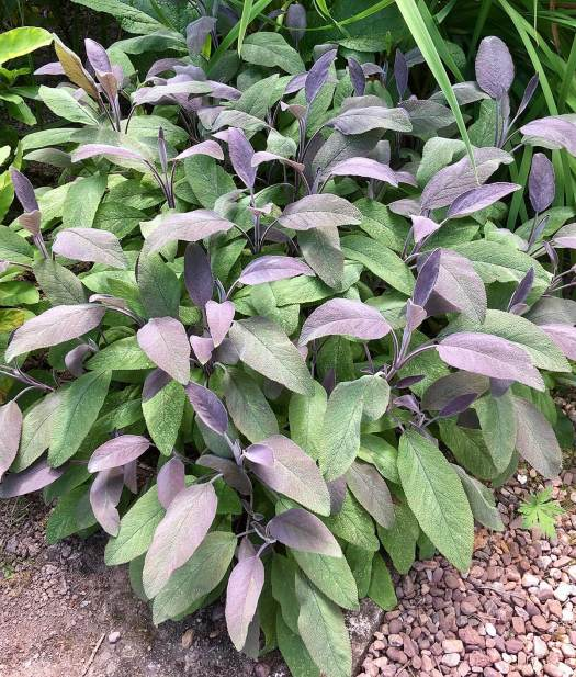 Purple leaf sage: Salvia oficianalis purpurea