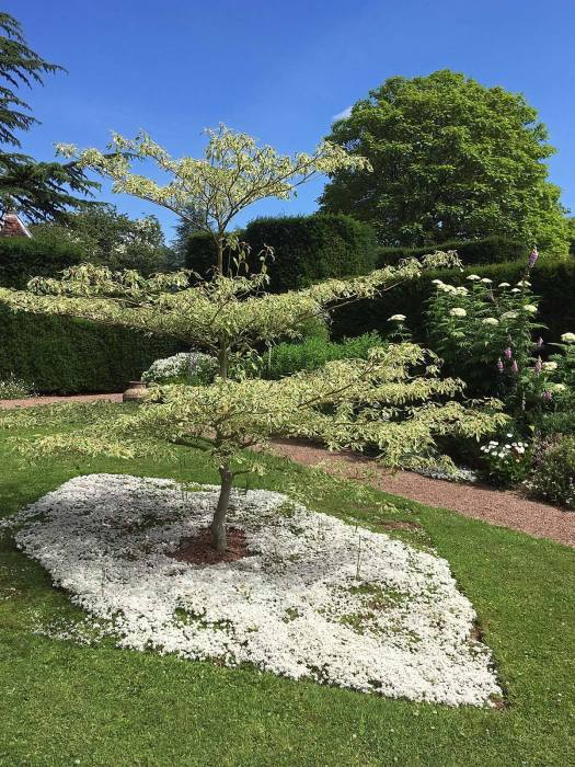 White thyme used as underplanting in a cut out shape beneath a variegated tree