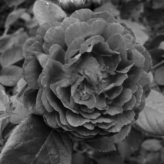 Black and white version of a crimson rose