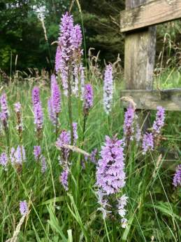 Dactylorhiza fuchsii | cluster of common orchids