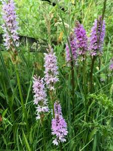 Dactylorhiza fuchsii orchids growing in grass