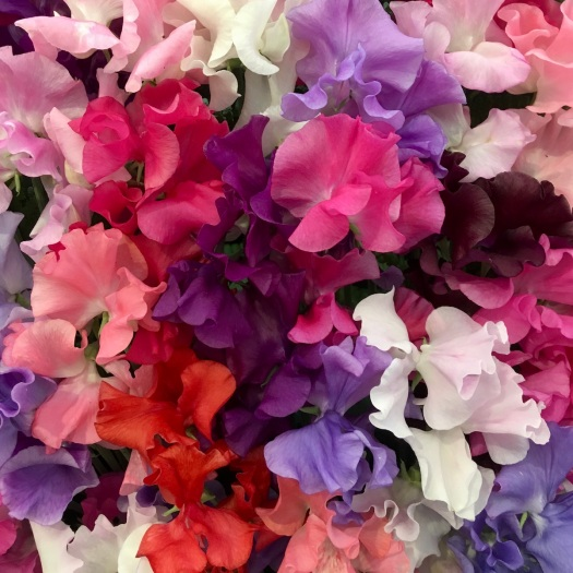 Lathyrus odoratus 'Spencer Mix' sweet peas