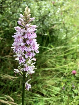 Pale common spotted orchid