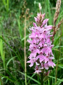 Pink common spotted orchid