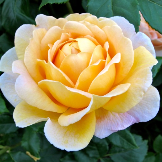 Rosa 'Golden Celebration' | yellow English rose