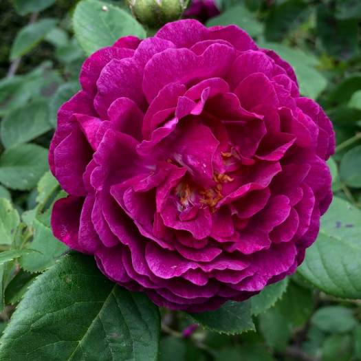 Rosa 'The Bishop' | Crimson rose