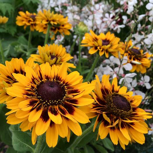 Rudbeckia 'Giggling' - yellow flower with burgundy markings
