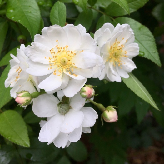White rose with tiny apricot buds