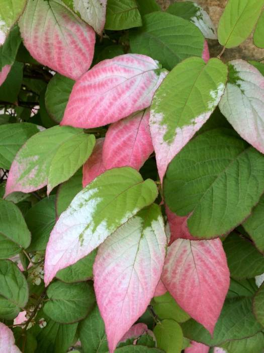 Actinidia kolomikta - vine with pink, white and green leaves