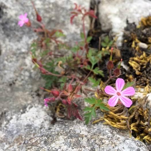 Geranium robertianum with moss on limestone paving