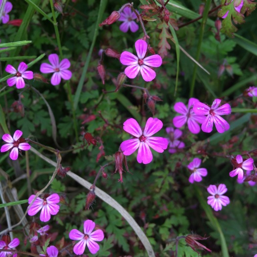 Geranium robertianum has small pink flowers with white stripes