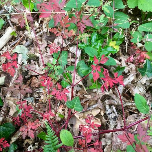 Red herb Robert foliage with ivy and fallen leaves