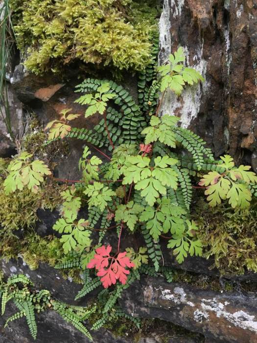 Herb Robert with ferns on a mossy wall