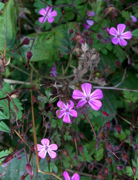 Herb Robert flower and hairy seeds