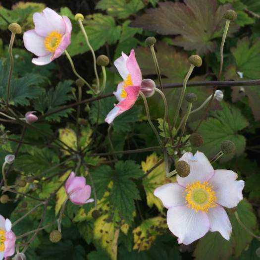 White Japanese anemone with pink petal reverses