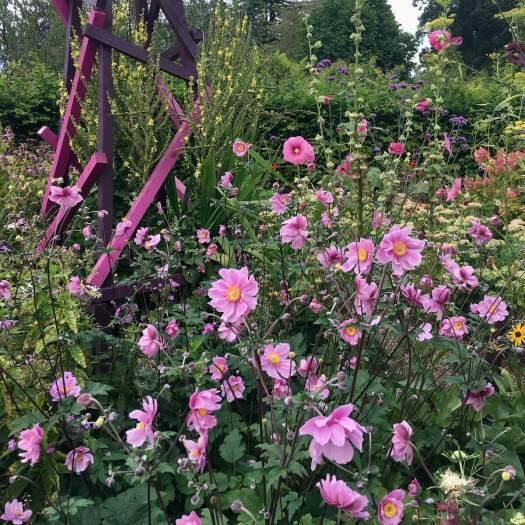 Pink Japanese anemones at Trentham Gardens