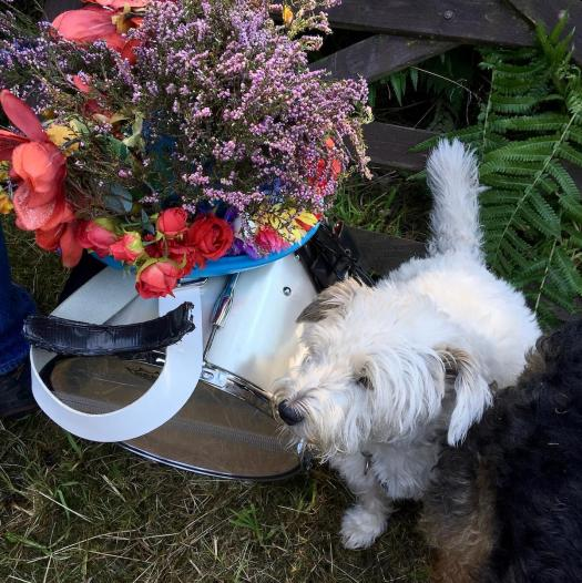 A white terrier guards a floral hat and a drum