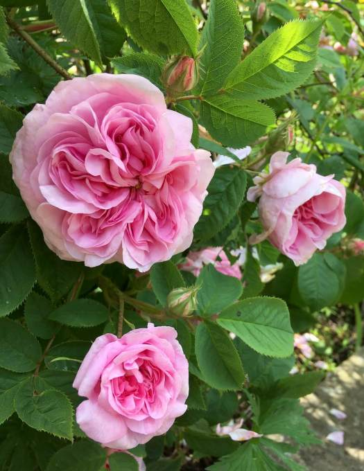A pink old rose with many petals