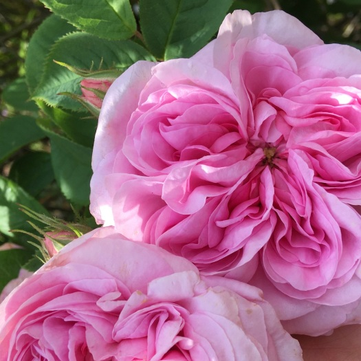 Rosa Queen of Denmark | Pink Alba Rose with long sepals