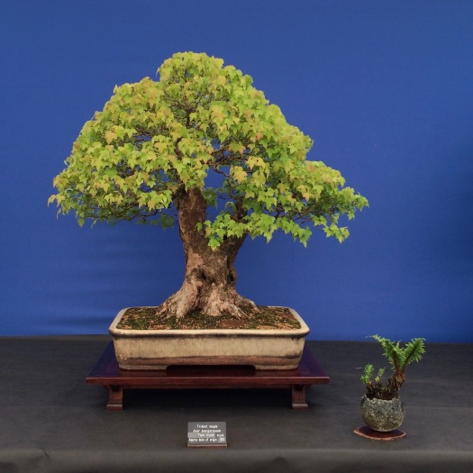 Twin trunk style bonsai (Acer buergerianum)