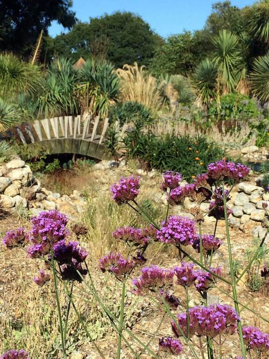 Verbena bonariensis in the desert garden at East Ruston