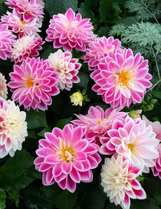 Dahlia 'Louise' - pink flowers with white edge