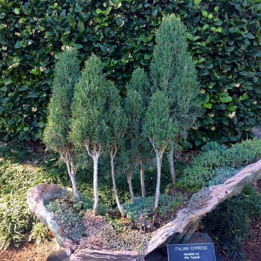 Stand of Italian cypress bonsai trees with succulents