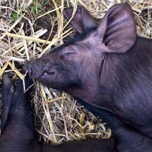 Black pig sleeping on straw