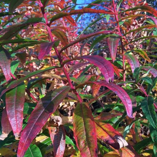 Rosebay willowherb autumn colour