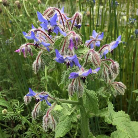 Blue borage (starflower)