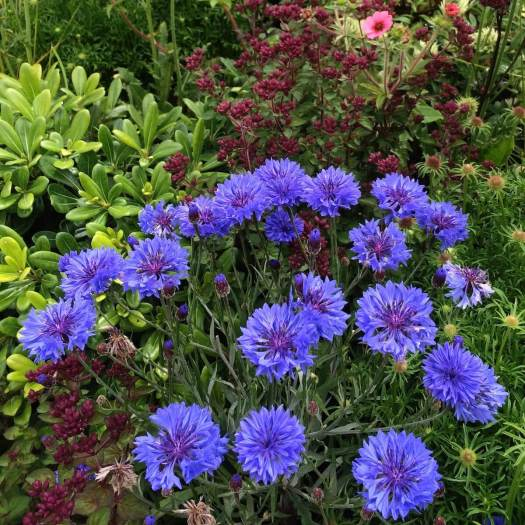 Blue cornflowers (Centaurea cyanus)