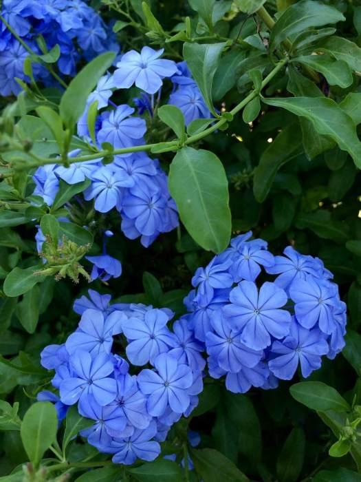 Blue plumbago (leadwort)