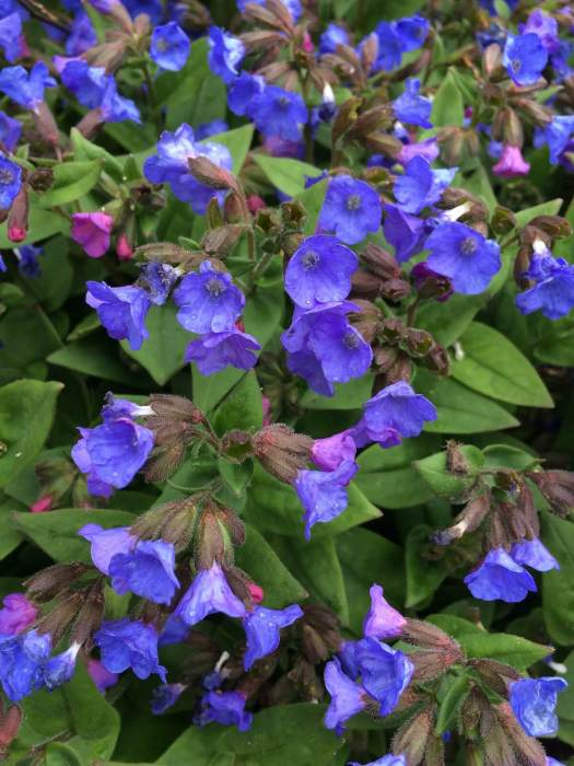 Blue pulmonaria (lungwort)
