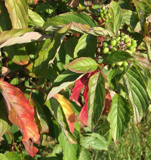 Dogwood foliage starting to colour