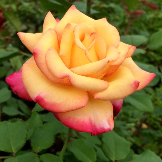 Rosa 'Dream Come True' - a yellow and red grandiflora rose