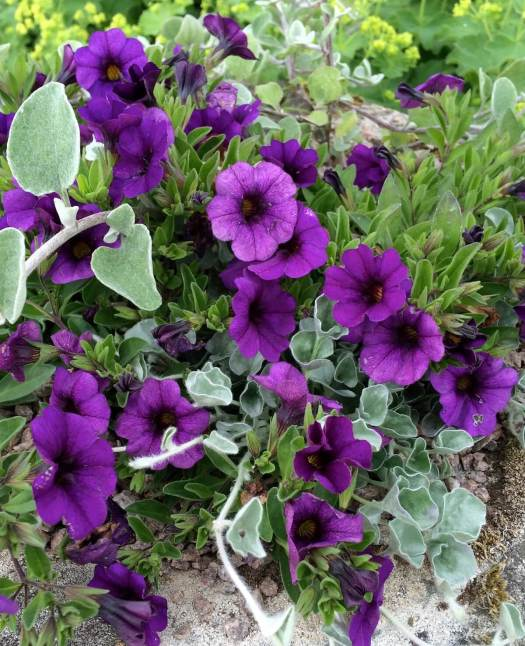 Purple million bells (calibrachoa)