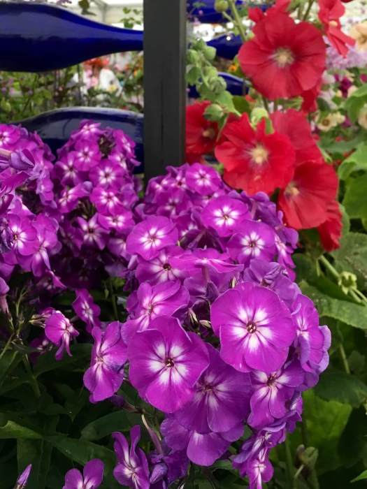 Purple phlox, blue bottles and hollyhocks