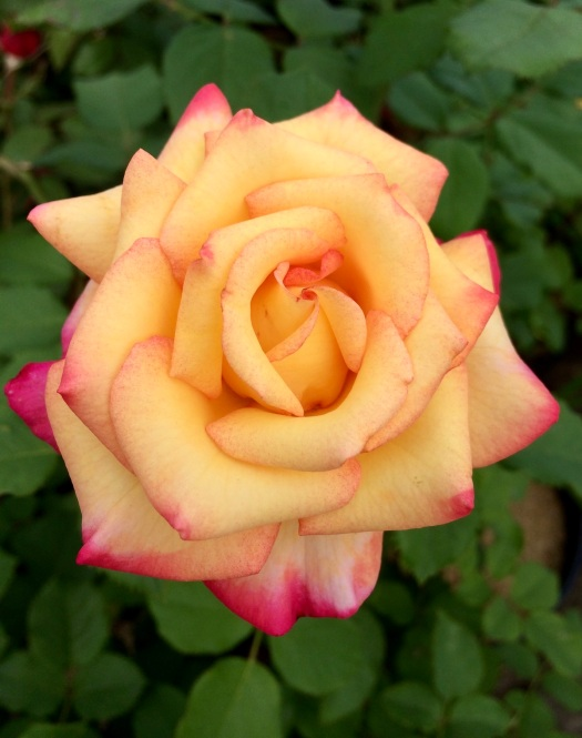 Rosa 'Dream Come True' | Yellow grandiflora rose flushed red