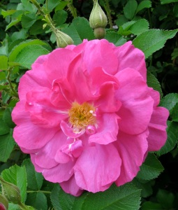 Rosa 'Wild Edric'