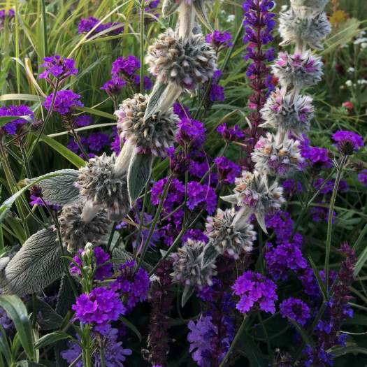 Purple verbena and stachys